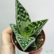 Aloe variegata