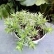 Arbomeitiella brevifolia