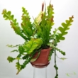 Epiphyllum anguliger