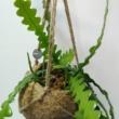 Epiphyllum anguliger kokedáma
