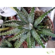 Haworthia Big Band