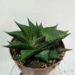 Haworthia Limifolia Twist