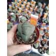 Lithops spp. lithops / kavicskaktusz