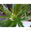 Pachypodium lamerei jelenleg levelek nélkül