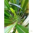 Pachypodium lamerei / Madagaszkár pálma