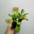 Monadenium rubell Guentheri