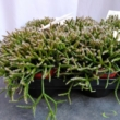 Rhipsalis burchellii