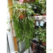 Rhipsalis trigona