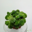 Sinocrassula yunnan Monanthes Polyphylla