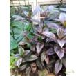 Pseuderanthemum atropurpureum / Pszeuderanthémum