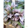 Pseuderanthemum atropurpureum
