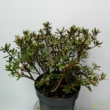 Rhododendron Azurika