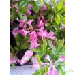 Rhododendron Knaphill pink / Világos rózsaszín azálea