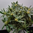 Rhododendron Ponticum variegata