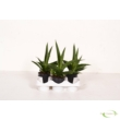 Sansevieria Comet Jungle Shadows