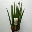 Sansevieria cylindrica Straight