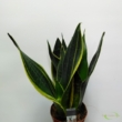 Sansevieria Golden Diamond