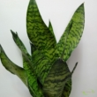 Sansevieria Zeylanica Compacta
