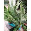 Sansevieria aubrytiana Dragon