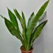 Sansevieria aubrytiana Jade