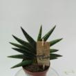 Sansevieria cylindrica Motum Kenya