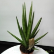Sansevieria cylindrica Tough Guy