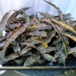 Sansevieria kirkii var. Pulchra (Coppertone)