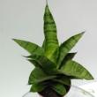 Sansevieria cylindrica Tough Lady