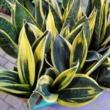 Sansevieria trifasciata Golden Flame