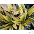 Sansevieria trifasciata Gold Flame