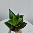 Sansevieria trifasciata Green Hahnii