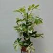 Schefflera Arboricoa Charlotte