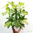 Schefflera Arboricoa Gerda