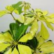 Schefflera arboricola Melanie