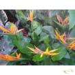 Strelitzia Reginae / Pompás papagályvirág