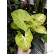 Syngonium podophyllum üvegben