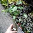 Syngonium pixie üvegben