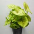 Syngonium Golden Feel Green