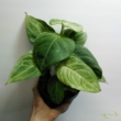 Syngonium Macrophyllum Frosted Heart