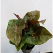 Syngonium Maria Allusion