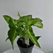 Syngonium augustatum