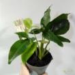 Syngonium podophyllum Trileaf Wonder