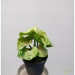 Syngonium podophyllum Roxana pink