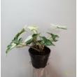 Syngonium podophyllum albo variegata