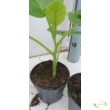 Cyphomandra betacea (Tamarillo) / Paradicsomfa