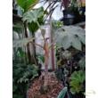 Tetrapanax papyrifera / Rizspapír növény