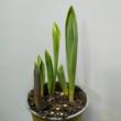 Tulipán mix cserépben