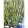 Equisetum hyemale / Téli zsurló