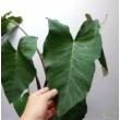 Xanthosoma sagittifolium violance
