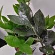 Zamioculcas zamiifolia raven black